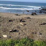 Elephant Seals Chillin