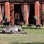 Zebra on the lawn