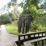 Elephant literally outside our bungalow