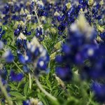 Texas Bluebonnets between Marble Falls and Johnson City
