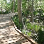 Boardwalks provide passage through Palmetto trail system