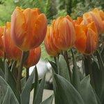 Tulips in Seasonal Display