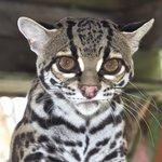 Tigre Salvaje Foto