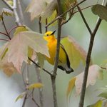 Prothonotary Warbler spotted on boat ride.
