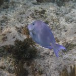 Blue Tang - just walk out from Retreat