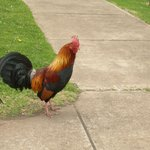 annoying rooster