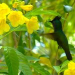 Antillean Crested Hummingbird feeding on yellow elder flowers