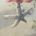 Spotted Star fish during sea mud walk