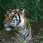 Resting Tiger !!!