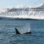Orca from Laki Tours boat