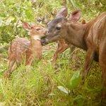 Deer on the 'Mirador trail'