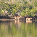 Deer @ Jonathan Dickinson State Park