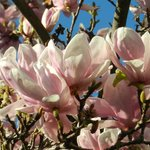 Magnolias bloom in January