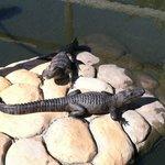 Our Live Gators!