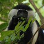 Mbega monkeys invade the grounds of the main camp