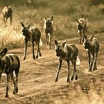 African Wild Dog pack of 9