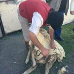 traditional sheep shearing demonstration