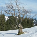schöner alter Baum auf dem Spazierweg