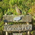 A Francolin bird