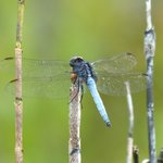 Blue Dragonfly?