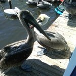 Hey, Pelicans need to get lunch too.  At the dock by Two Georges!