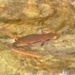 Sierra Newt in a creek along the Buttermilk Bend Trail