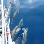 DOLPHINS IN THE FRONT OF S/Y ANNABELLA