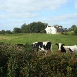 Cows grazing on their farm; Teltown house in the background