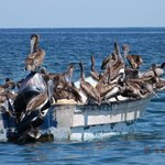 Pelican conference