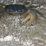por la noche tome fotos a los intrepidos cangrejos que salen a la playa..grandotes..