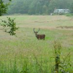 A stag spotted across from The Byre Inn carpark