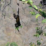 Visit from howler monkeys