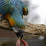 feeding a peanut to a parrot