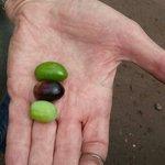 diferentes tipos de aceituna: arauco, manzanilla y nevadilla