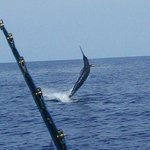 Jumping Marlin