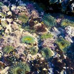 Sea Anemones at Corallina Cove