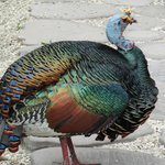 ocellated turkey on path to dining room