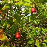 """Maranon Tree"" Cashew Tree, Chiriqui, Panama"