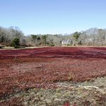 Cranberry bog in Harwich