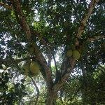 Jackfruits in Chrissis-Garden