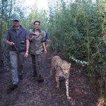 Spaziergang mit Geparden