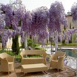 Wisteria in Bloom at Spring