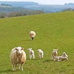 Sheep and lambs in the nearby fields