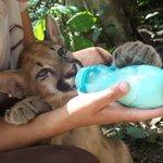 Cría de puma rehabilitado