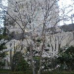 cherry blossom in front of Rihga Royal