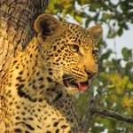 8 month old leopard cub up a tree