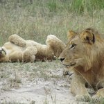 young lion and cub near EP