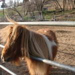 One of the four miniature horses