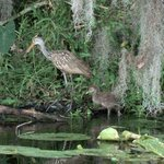 Limpkins at nature preserve