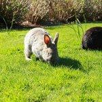 Rabbits at Minoru Park